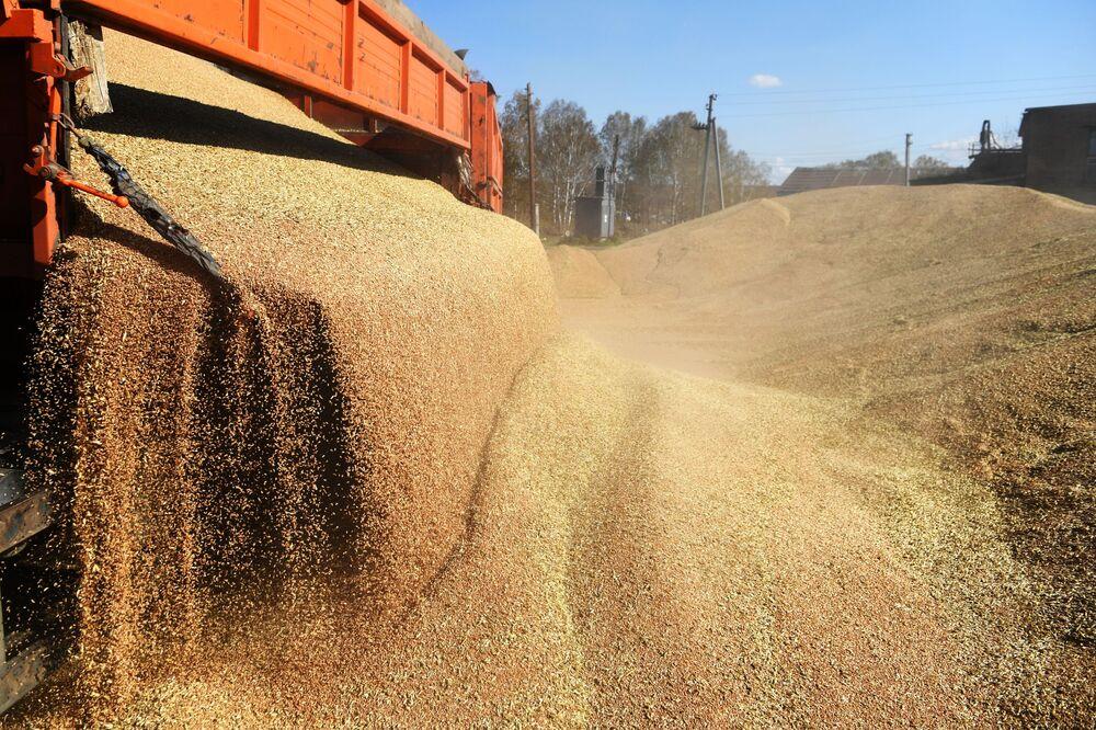 Vyložení pšenice v Novosibirské oblasti.