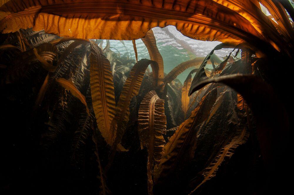 """Laminaria (""""mořská kapusta"""") na dně Novokurilského zálivu nedaleko ostrova Urup"""