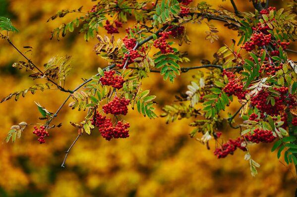 Podzimní jeřabiny v petrohradském parku - Sputnik Česká republika