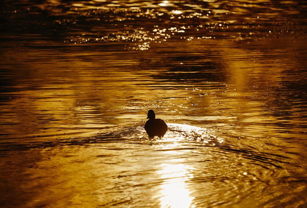 Kachna na jezeře v Petrohradě