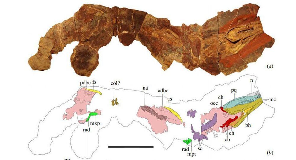 Fosilie žraloka Phoebodus saidselachus