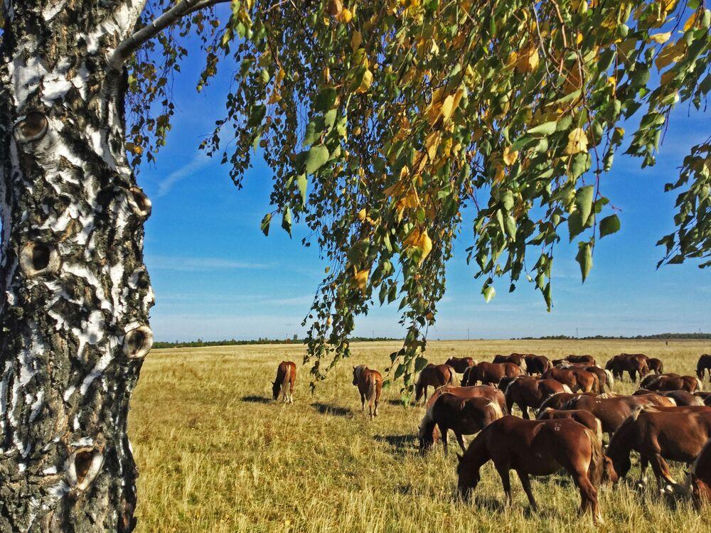 Koně experimentální farmy se pasou v Poleské státní radiačně-ekologické rezervaci.