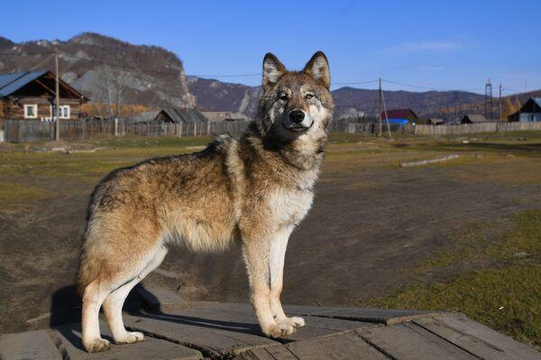 Vlčí mládě, které místní obyvatelé našli v lese a vzali domů, v obci Alygdžer v Irkutské oblasti - Sputnik Česká republika