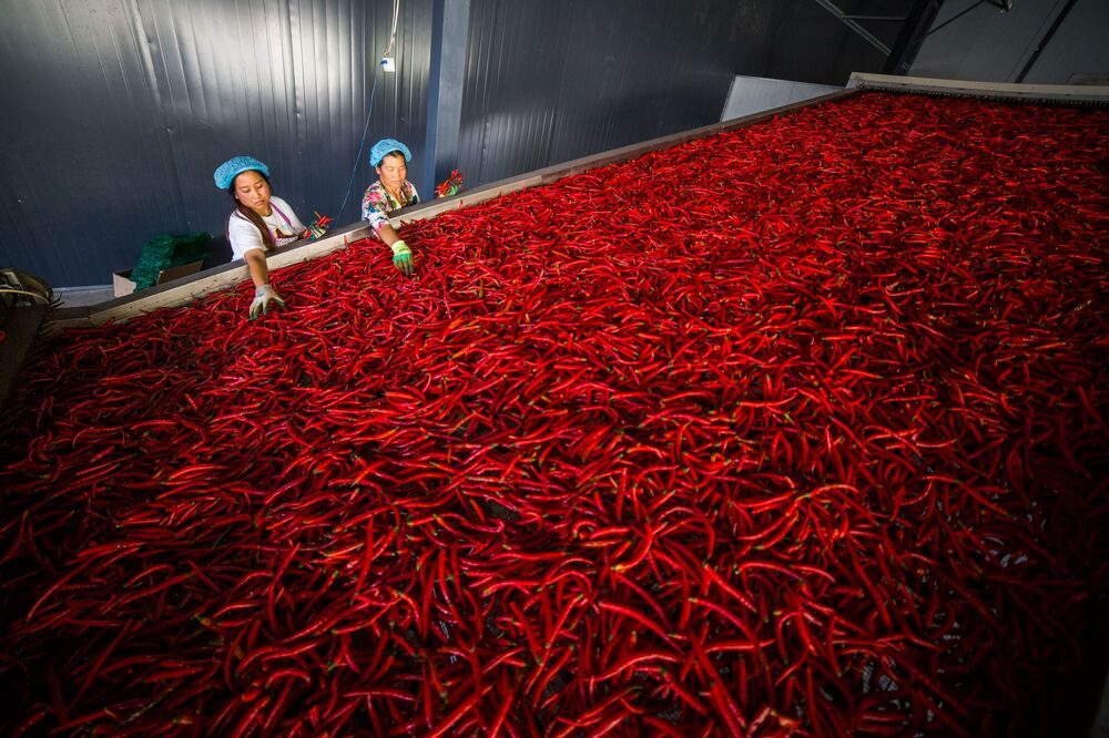 Dělníci třídí chilli papričky, provincie Guizhou, Čína