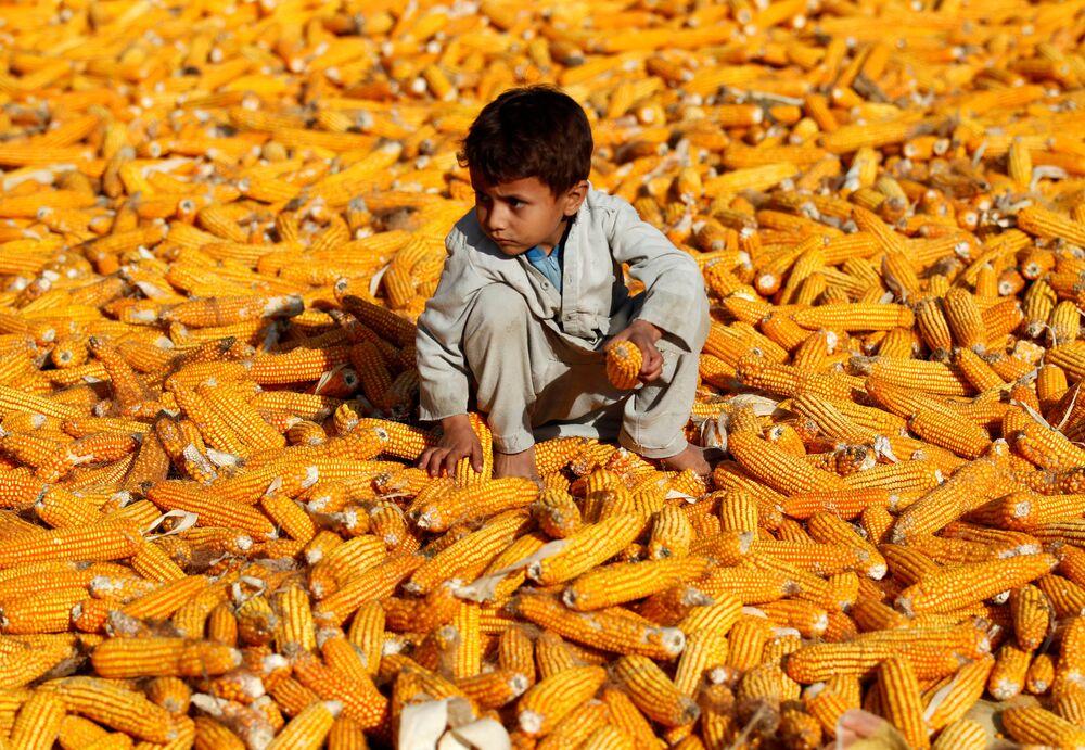 Chlapec na kukuřičném poli v Afghánistánu.