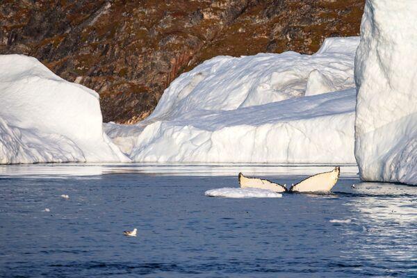 Velryba u ledovců ve vodách Grónska. - Sputnik Česká republika