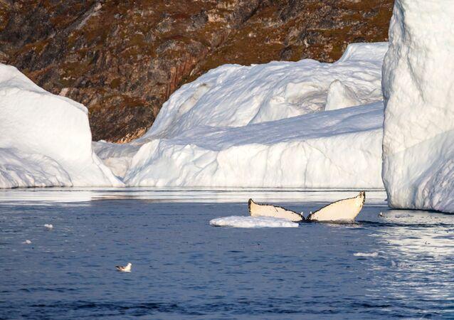 Velryba v grónském zálivu Ice Fjord