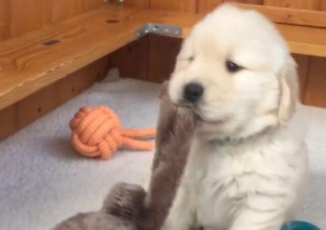 Video: Štěně zlatého retrívr skoro jako Karate Kid
