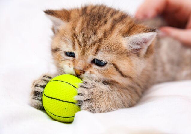 Britská krátkosrstá kočka. Ilustrační foto