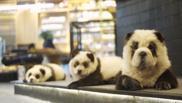Číňan nabarvil psy, aby vypadali jako pandy. A to vše jen kvůli vyšší návštěvnosti jeho kavárny - Sputnik Česká republika