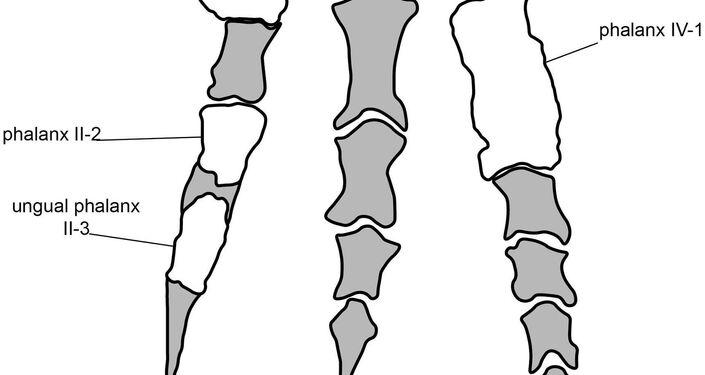 Rekonstrukce dolní končetiny masožravého dinosaura Imperobatora z Antarktidy