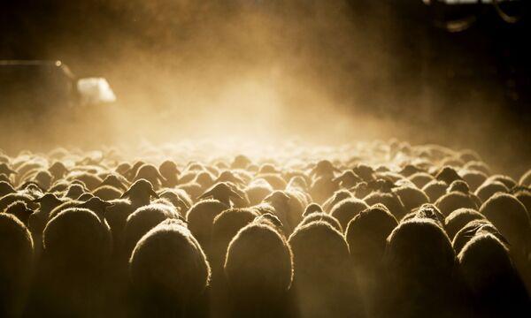 Stádo ovcí v Arménii. - Sputnik Česká republika