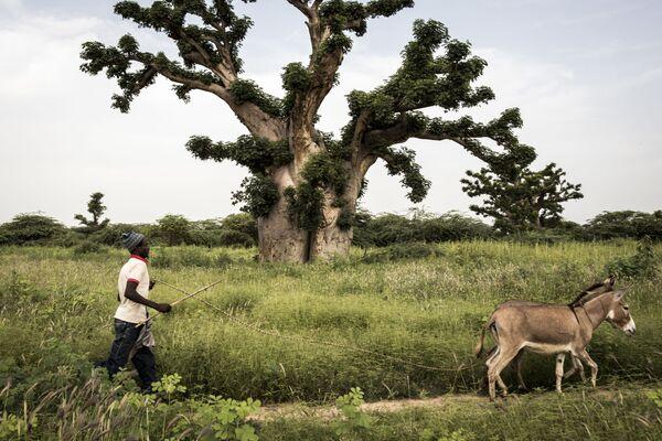 Muž s osly v Senegalu - Sputnik Česká republika