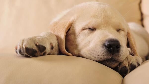 Labradorské štěně při spánku - Sputnik Česká republika