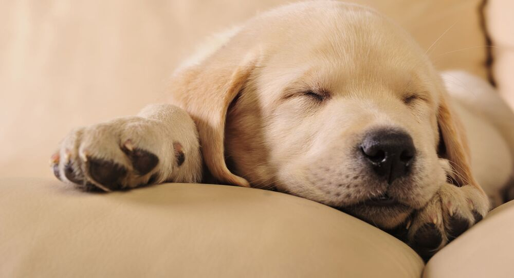Labradorské štěně při spánku