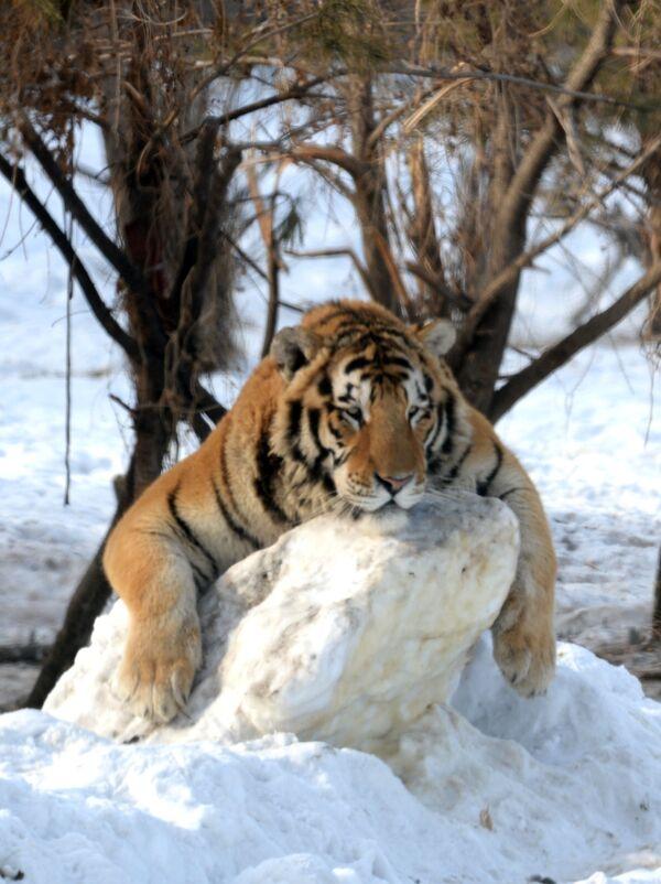 Tigr v parku Sibiřský tigr v Harbinu, provincie Chej-lung-ťiang na severovýchodě Číny    - Sputnik Česká republika