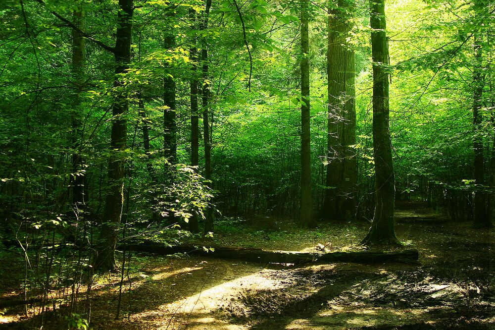Bělověžský prales (Bělorusko)
