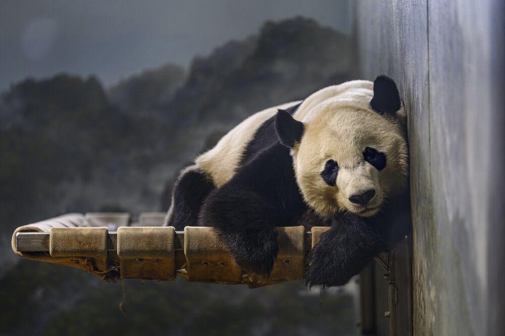 Velká panda odpočívá v zoo ve Washingtonu.