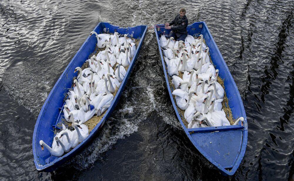 """Hamburský """"otec labutí"""" Olaf Niess pluje v lodi s ptáky."""