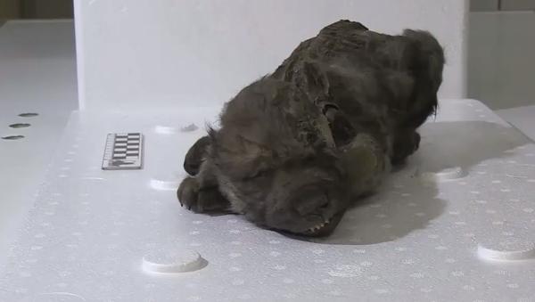 Toto štěně leželo 18 tisíc let ve věčně zmrzlé půdě. Podívejte se, jak vypadá - Sputnik Česká republika