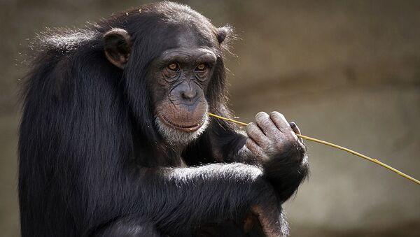 Šimpanz. Ilustrační foto - Sputnik Česká republika