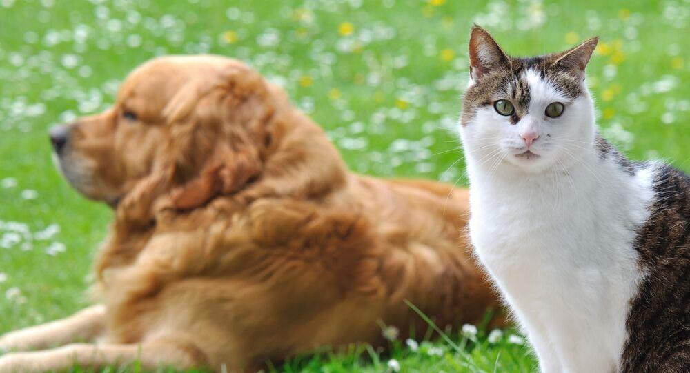 Zlatý retrívr a kočka