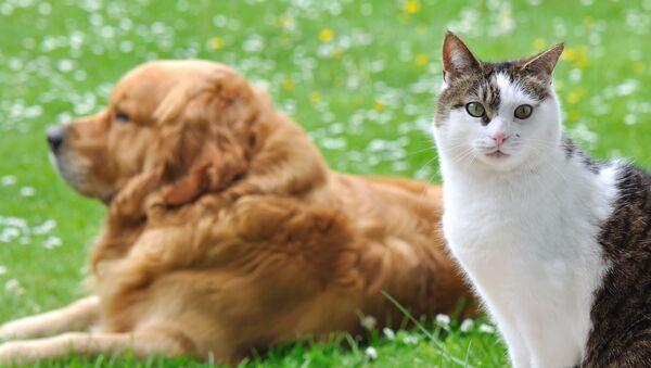 Zlatý retrívr a kočka - Sputnik Česká republika