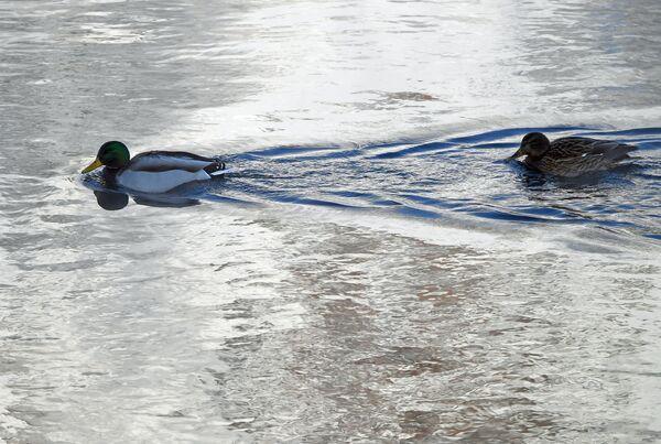 Divoké kachny plavou po řece Jenisej - Sputnik Česká republika