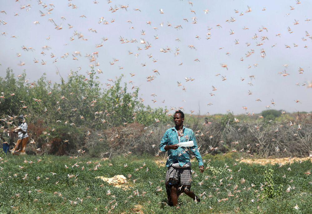 Farmář v Somálsku během invaze sarančat u města Dhuusamareeb