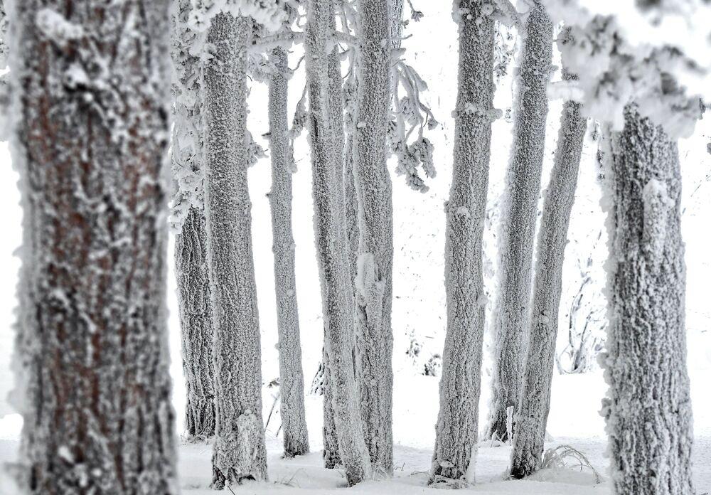 Zasněžený les na břehu řeky Jenisej