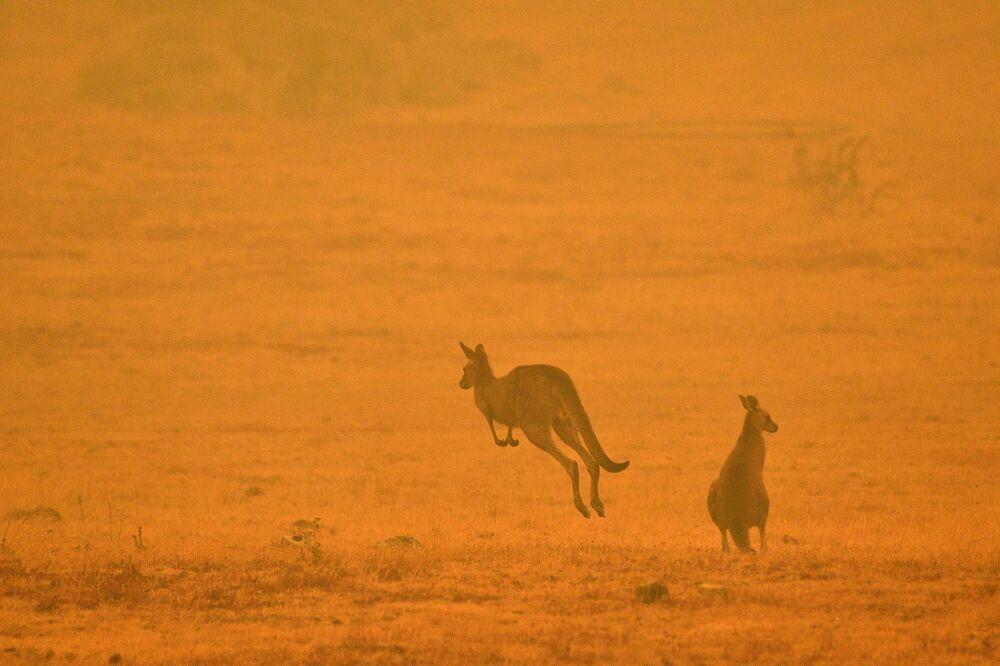 Klokani na pozadí lesního požáru v Austrálii