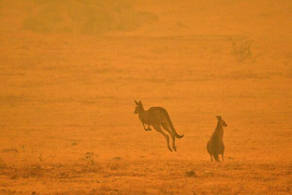 Кенгуру во время лесных пожаров в Австралии - Sputnik Česká republika