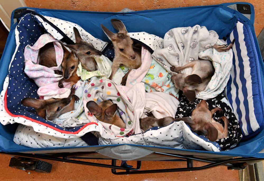 Klokani, kteří se stali sirotky kvůli dopravním nehodám, útokům psů, lesním požárům a suchu, v nemocnici australské Zoo Wildlife