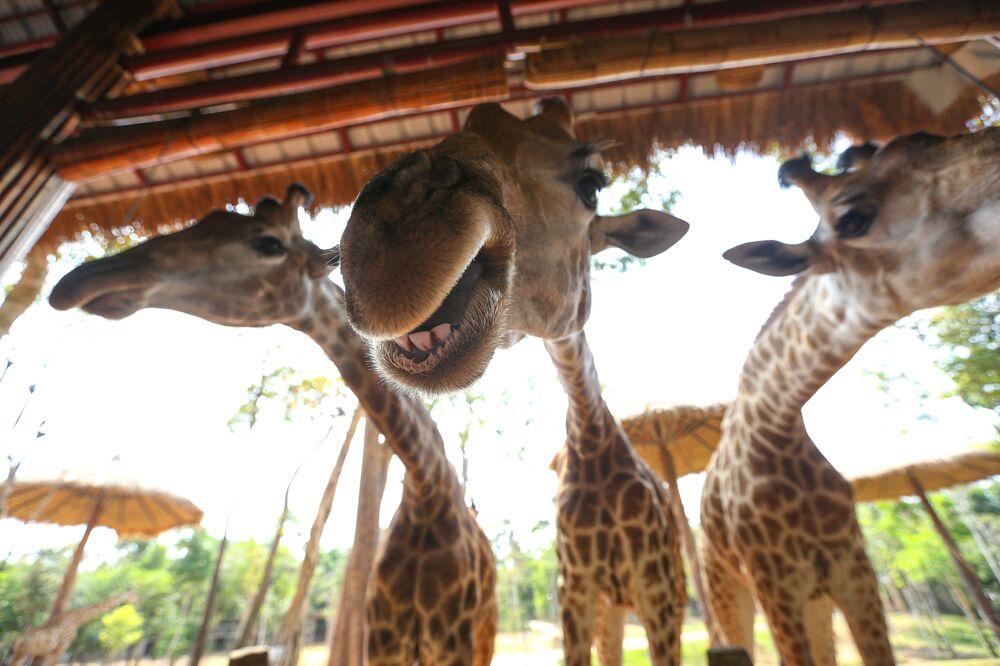 Žirafy ve Vietnamu v parku Vinpearl Safari
