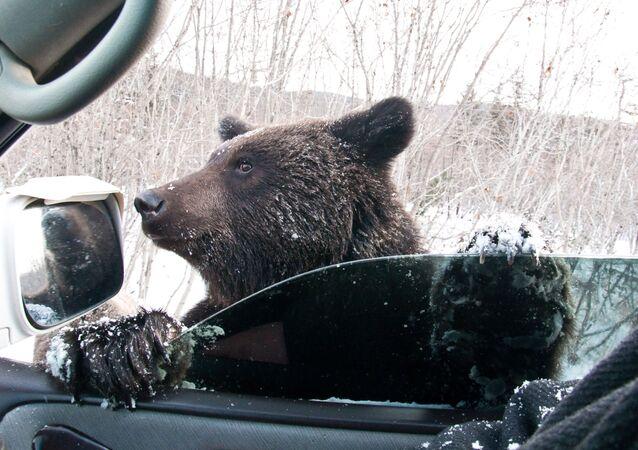 Hnědý medvěd žebrá na silnici