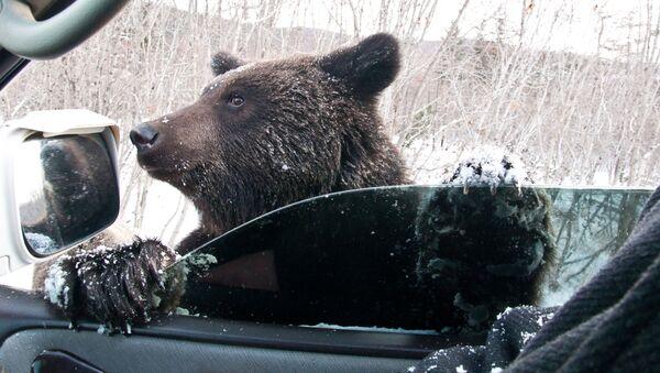 Hnědý medvěd žebrá na silnici - Sputnik Česká republika