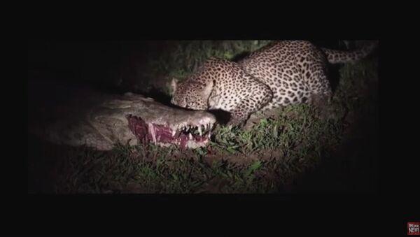 Leopard krade oběd z čelistí spícího krokodýla. Video - Sputnik Česká republika