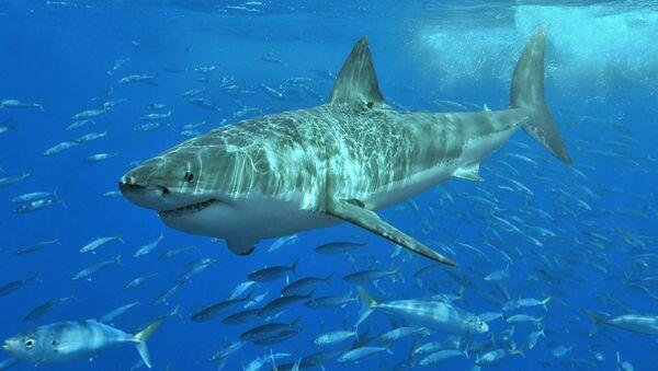 Žralok bílý - Sputnik Česká republika