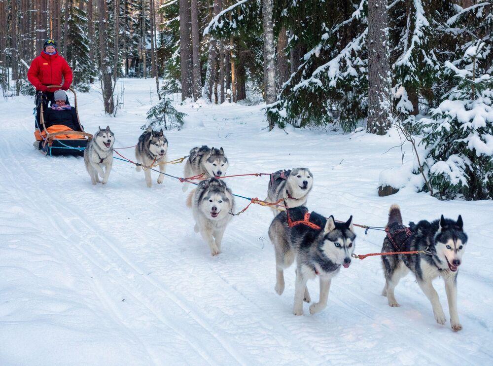 """Turisté jezdí na psím spřežením v turistickém komplexu """"Karjala park"""" v Karelské republice v Rusku"""
