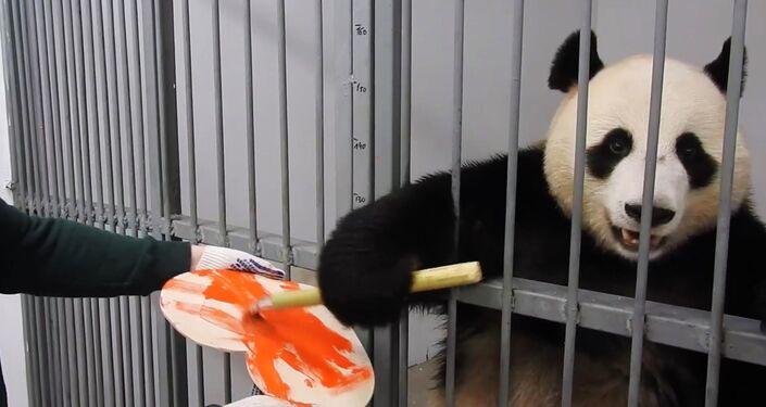 """Žui, samec pandy z moskevské zoo namaloval valentýnku pro svou """"vyvolenou"""", pandu Dindin"""