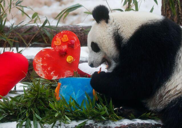 Panda Dindin s valentýnkou od pandy Žui v moskevské zoo