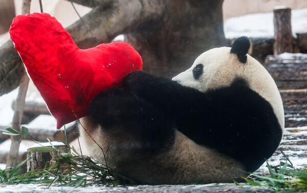 Panda Dindin se raduje valentince od pandy Žui v moskevské zoo - Sputnik Česká republika