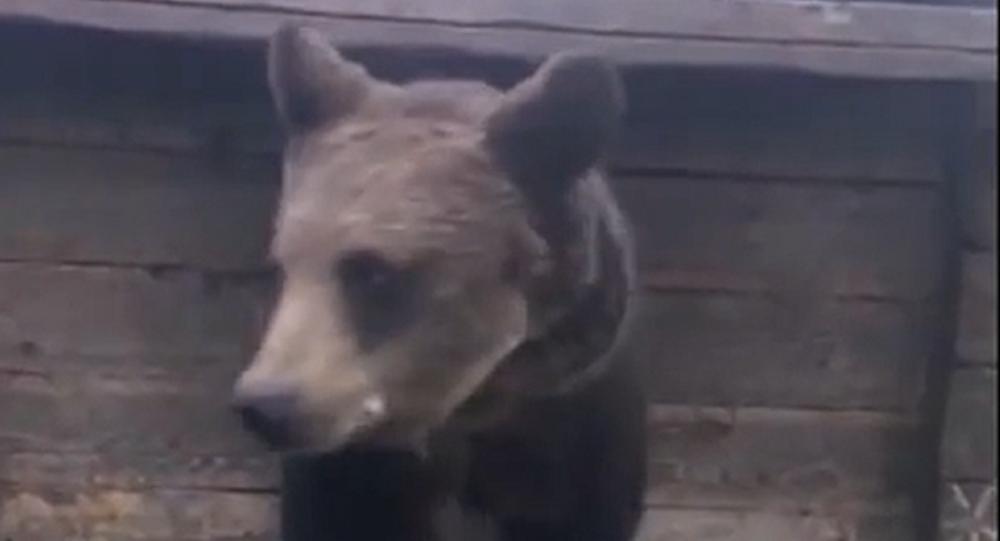 To je šok! Žena krmí obrovského medvěda přímo ze své pusy