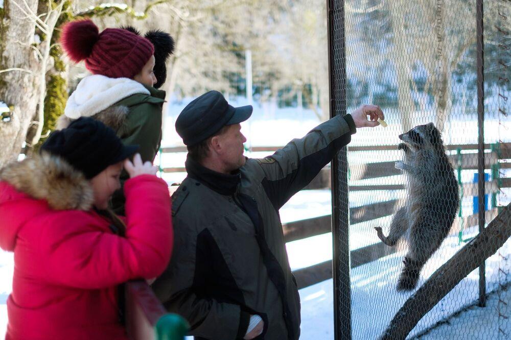 Zaměstnanec Kavkazské státní přírodní biosférické rezervace krmí mývaly v zoo