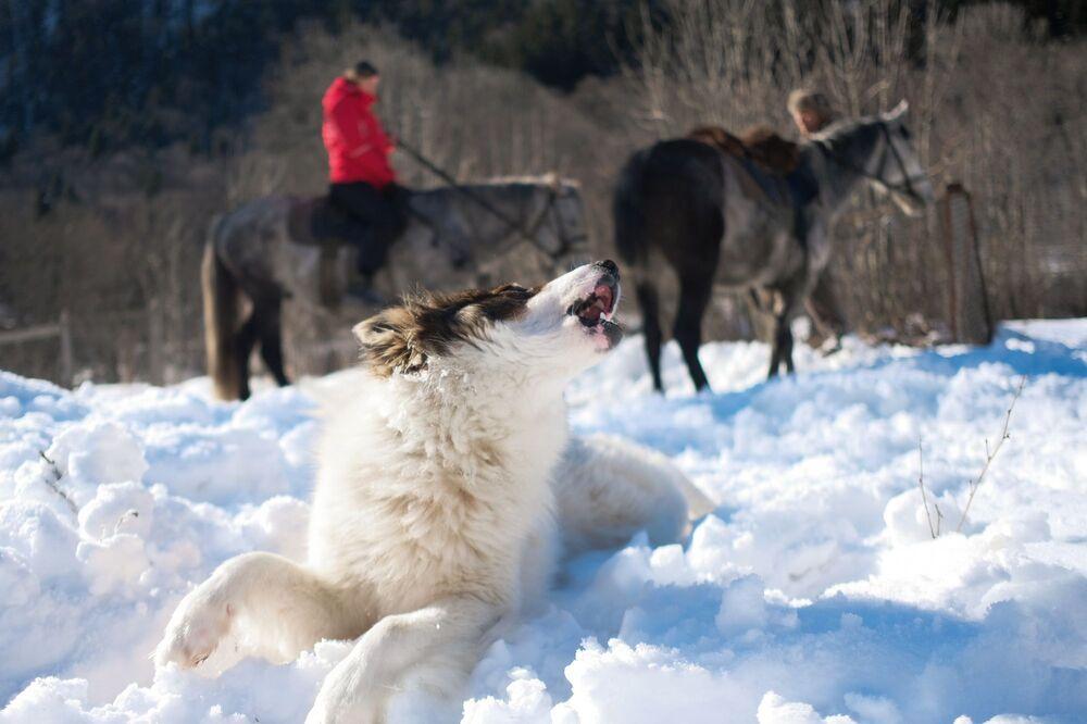 Husky na území turistického komplexu kordonu Guzerpil Kavkazské státní přírodní biosférické rezervace
