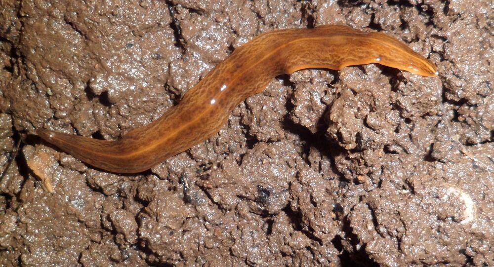 Červ obama nungara