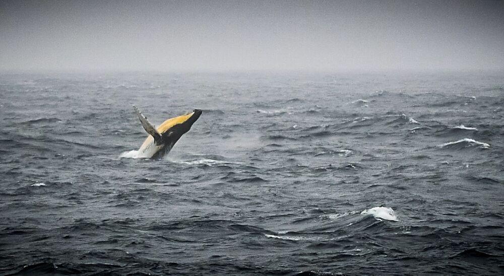 Keporkak dovádí v Bellingshausenovu moři u antarktického pobřeží.