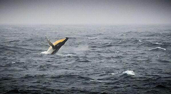 Keporkak dovádí v Bellingshausenovu moři u antarktického pobřeží. - Sputnik Česká republika