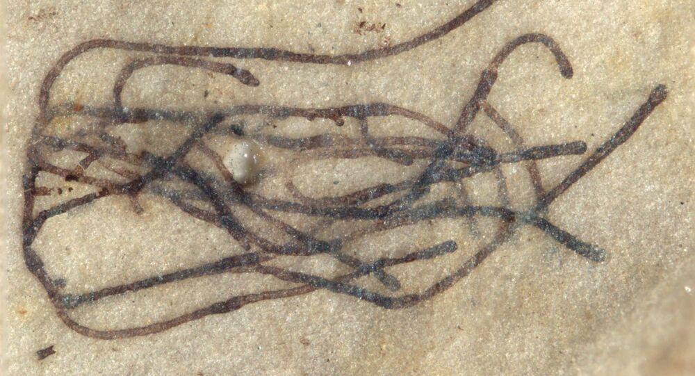 Fosilní mikrořasy Proterocladus antiquus