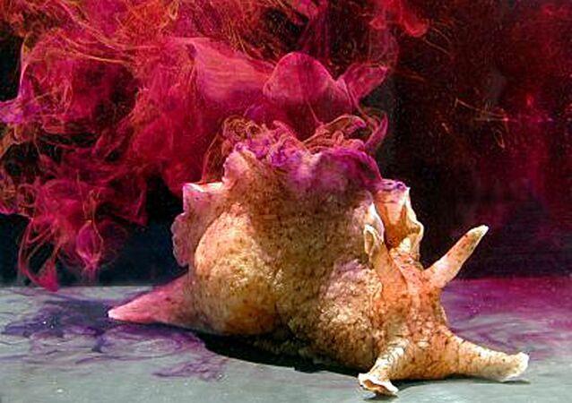 Aplysia californica, mořský zajíc